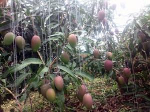 宮古島の太陽の光をたくさん浴びて育ったマンゴー
